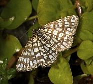 Latticed Heath, Chiasmia clathrata, Co Louth
