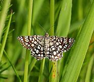 Latticed Heath, Chiasmia clathrata, Co Donegal