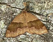 70.223 Barred Umber, Plagodis pulveraria, Co. Louth