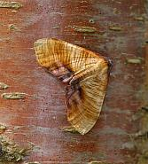 70.224 Scorched Wing, Plagodis dolobraria