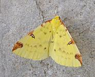 70.226 Brimstone Moth, Opisthograptis luteolata, Co Wicklow
