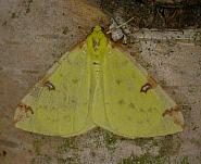 70.226 Brimstone Moth, Opisthograptis luteolata, Co. Wicklow