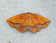 70.227 Bordered Beauty, Epione repandaria