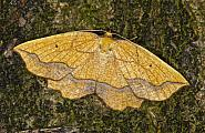 70.227 Bordered Beauty, Epione repandaria, Co Louth