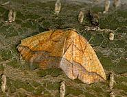 70.227, Bordered Beauty, Epione repandaria, Co Wexford