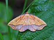 70.227, Bordered Beauty, Epione repandaria, Co Leitrim