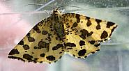 70.229 Speckled Yellow, Pseudopanthera macularia, Co Clare
