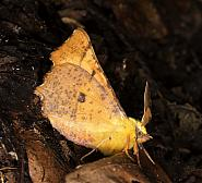 Canary-shouldered Thorn, Ennomos alniaria, Co Louth