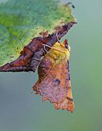 Canary-shouldered Thorn, Ennomos alniaria, Co Leitrim
