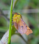 Canary-shouldered Thorn, Ennomos alniaria, Co Donegal