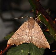 70.24 Scalloped Hazel, Odontoptera bidentata, Co Louth