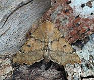 Scalloped Hazel, Odontoptera bidentata, Co Leitrim