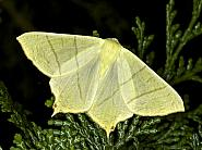 70.243 Swallow-tailed Moth, Ourapteryx sambucaria