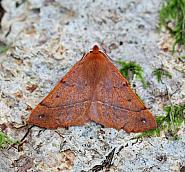 70.244 Feathered Thorn, Colotois pennaria