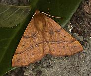 70.244 Feathered Thorn, Colotois pennaria, Co Louth