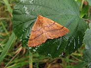Feathered Thorn, Colotois pennaria, Co Donegal