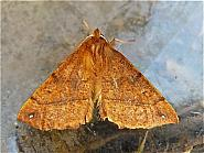 70.244 Feathered Thorn, Colotois pennaria, Co Cork