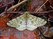 Pale Brindled Beauty, Phigalia pilosaria, Co Donegal