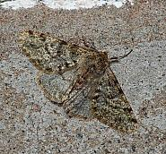 Pale Brindled Beauty, Phigalia pilosaria, Co Leitrim