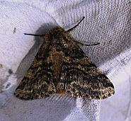 70.248 Brindled Beauty, Lycia hirtaria, Co. Limerick