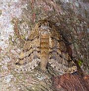 Brindled Beauty, Lycia hirtaria, Co. Clare