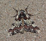 70.251 Oak Beauty, Biston strataria