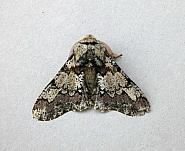 70.251 Oak Beauty, Biston strataria, Co Wicklow