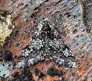 Oak Beauty, Biston strataria, Co Leitrim