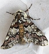 70.251 Oak Beauty, Biston strataria, Co Armagh