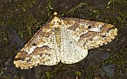 70.256 Mottled Umber, Erannis defoliaria, Co Louth