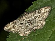 Willow Beauty, Peribatodes rhomboidaria, Co Louth