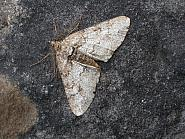 70.263 Ringed Carpet, Cleora cinctaria