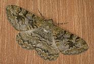 70.265 Mottled Beauty, Alcis repandata