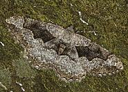 70.265 Mottled Beauty, Alcis repandata, Co Louth