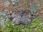Mottled Beauty, Alcis repandata, Co Leitrim