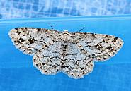 70.270 Engrailed, Ectropis crepuscularia, Co Fermanagh