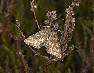 70.275 Common Heath, Ematurga atomaria, Co Louth