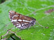 70.276 Bordered White, Bupalus piniaria