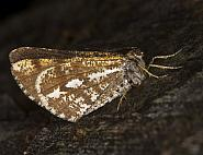 Bordered White, Bupalus piniaria, Co Louth