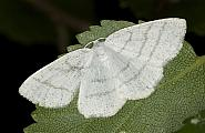 70.277 Common White Wave, Cabera pusaria