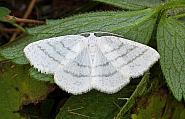 Common White Wave, Cabera pusaria, Co Leitrim