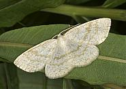 70.278 Common Wave, Cabera exanthemata