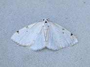 70.279 White-pinion Spotted, Lomographa bimaculata