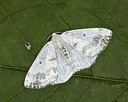 Clouded Silver, Lomographa temerata, Co Louth