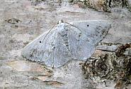 70.28 Clouded Silver, Lomographa temerata, Co Wicklow