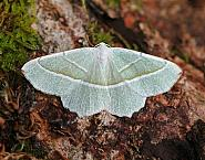 Light Emerald, Campaea margaritata, Co Leitrim