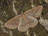 70.284 Barred Red, Hylaea fasciaria, Co. Louth