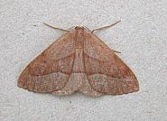 70.284 Barred Red, Hylaea fasciaria, Co Wicklow