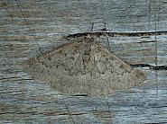 70.285 Scotch Annulet, Gnophos obfuscata