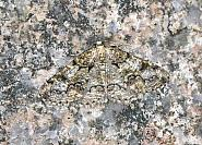 70.288 Brussels Lace, Cleorodes lichenaria, Co Mayo